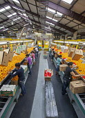 Florida - Oranges are sorted and packed at the IMG Citrus packing house. - Jim West - American,2010s,2014,AGRICULTURAL,agriculture,America,American,americans,BAME,BAMEs,BME,bmes,by hand,capitalism,capitalist,citrus,crop,crops,diversity,EARNINGS,EBF,Economic,Economy,employee,employees,E