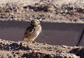 Brawley, California - A burrowing owl next to an irrigation ditch in the Imperial Valley. El Mirage, California - Jim West - 28-01-2012
