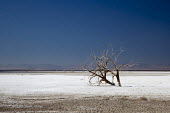 Calipatria, California: Dead trees on salt flat, Salton Sea. The salt encrusted flat left by the falling level of the Salton Sea. This endorheic rift lake in the Colorado Desert is about 70 metres bel... - Jim West - 28-01-2012
