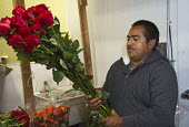 Los Angeles - A man in Los Angeles flower market bundles long-stemmed roses for sale. Most flowers sold in the market are imported. These roses come from Ecuador. - Jim West - 23-06-2012