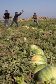 Di Giorgio, California - Mexican farmworkers harvest watermelons from a field in the San Joaquin Valley. - Jim West - 27-06-2012