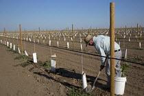 Di Giorgio, California - A Latino farmworker tends newly planted grape vines in the San Joaquin Valley. - Jim West - 27-06-2012