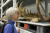 Salt Lake City, Utah - The Natural History Museum of Utah at the Rio Tinto Center on the University of Utah campus. Susan Newell, 67, studies a set of moose antlers while visiting the museum. - Jim West - 15-11-2014