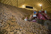Shelley, Idaho A worker loading potatoes in a farm store for delivery to a potato packing plant - Jim West - American,2010s,2015,agricultural,agriculture,America,American,americans,capitalism,capitalist,cellar,crop,crops,DELIVERING,delivery,driver,drivers,driving,EARNINGS,EBF,Economic,Economy,employee,employ