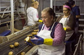 Idaho Workers sorting potatoes on a processing plant production line - Jim West - 20-07-2015