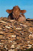 Cow looking over dry stone wall. - Paul Carter - 1980s,1989,AGRICULTURAL,agriculture,animal,animals,capitalism,capitalist,cattle,cow,cows,domesticated ungulate,domesticated ungulates,EBF economy,ENI environmental issues,farm,farmed,farming,farmland,