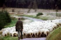 Shepherd moving flock of sheep, Porlock, North Devon - Paul Box - 15-09-1999
