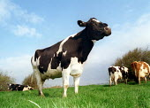 Cow in field. - Paul Box - 21-03-2000