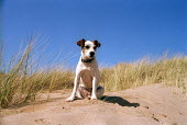 A Jack Russell dog on a beach in South Pembrokeshire. - Paul Box - 24-04-2001