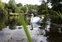 Swans on the river Teifi at Cenarth, Pembrokeshire, Wales. - Paul Box - 07-09-2013
