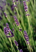 Lavender flower - Paul Box - 2000s,2001,ENI,ENI environmental issues,environment,environmental issues,flora,flower,flowering,flowers,foliage,garden,GARDENS,herb,herbs,Lavender,leaves,nature,plant,plants,scent,smell