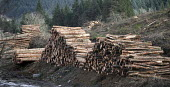 Afan forest, South Wales. Phytophthora ramorum - a devastating fungal pathogen - is causing widespread damage to shrubs and trees in the UK. Larch logs. - Paul Box - 15-02-2011