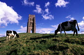 Cows grazing on Glastonbury Tor, St Michaels Church Tower - Paul Box - 14-07-2002