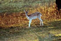 A young fallow deer at Ashton court Bristol - Paul Box - 01-11-2003