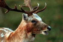 A stag in Ashton court Bristol - Paul Box - 01-11-2003