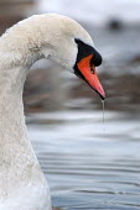 A swan, Bristol - Paul Box - 29-11-2003