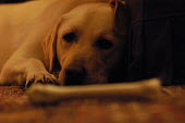 A labrador dog with bone at home. - Paul Box - 28-11-2003