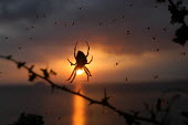 A spider in a web silhouetted against the sunset, Weston Super mare, Bristol - Paul Box - 2000s,2003,a,against,animal,animals,bugs,catch,caught,cities,city,coast,coastal,coasts,country,countryside,eni environmental issues,flies,fly,hanging on,insect,insects,nature,OCEAN,orb,outdoors,outsid