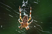 A spider in a spiders web. - Paul Box - 2000s,2003,animal,animals,insect,insects,nature,orb,predator,silk,silken,spider,spiders,thread,threads,web