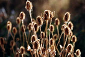The seed heads of the common Teasel, Bristol city centre - Paul Box - 01-11-2003