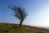 Tree blown in the wind, Dartmoor National Park. - Paul Box - 14-10-2002