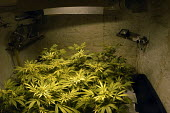 Marijuana plants growing in a basement in Bristol - Paul Box - 2000s,2004,agricultural,agriculture,aquiculture,basement,buds,c,cannabis,cellar,cities,city,class,CLJ,CLJ crime,CLJ crime law justice,crime,drug,drugs,farm,farmed,farming,farms,ganja,grass,grow,grower