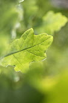 A oak leaf. - Paul Box - 09-11-2005