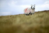 A sheep near Helvelin, Lake District. - Paul Box - 20-11-2005