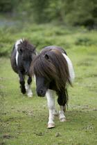 Shetland ponies in Wales - Paul Box - 25-06-2006
