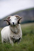 Mountain sheep Wales. - Paul Box - 2000s,2006,agricultural,animal,animals,domesticated ungulate,domesticated ungulates,eni environmental issues,horn,horns,lateral,livestock,rural,sheep,spiral,spirals,ungulate,wales,welsh,wild