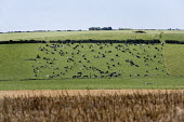 A herd of cows, in Wiltshire. - Paul Box - 2000s,2007,agricultural,agriculture,animal,animals,capitalism,capitalist,Cattle,country,countryside,cow,cows,Dairy herd,domesticated ungulate,domesticated ungulates,EBF Economy,field,fields,herd,hill,