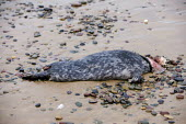 A dead seal on Freshwater West Beach, in Pembrokeshire. - Paul Box - 08-03-2009