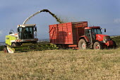A combine harvester cuts a field of whole crop.Silage.Pembrokeshire, Wales. - Paul Box - 21-08-2009