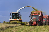 A combine harvester cuts a field of whole crop for silage. Pembrokeshire, Wales. - Paul Box - 06-08-2009