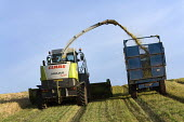 A combine harvester cuts a field of whole crop.Silage.Pembrokeshire, Wales. - Paul Box - 06-08-2009