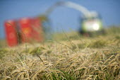 A combine harvester cuts a field of whole crop for silage.Pembrokeshire, Wales. - Paul Box - 06-08-2009
