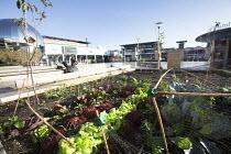 Food growing in planters @Bristol Science Centre, Millennium Square, Bristol. - Paul Box - 16-10-2014