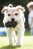 A dog with a dog chew, Stratford Upon Avon - Paul Box - 2010s,2014,animal,animals,canine,dog,dogs,EARLY YEARS,garden,gardens,home,homes,Leisure,LFL,LIFE,OWNERSHIP,PEOPLE,pet,pets,RECREATION,RECREATIONAL,rubber,terrier,toddler,toddlers,toy,young,YOUNGER