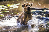 Labrador dogs playing in the woods and ponds, Abbots Leigh - Paul Box - 14-06-2014