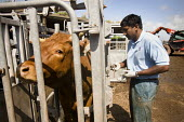 A vet carries out a Bovine TB test on beef cattle. Delayed hypersensitivity test: This test is the standard method for detection of bovine tuberculosis. It involves measuring skin thickness, injecting... - Paul Box - 27-07-2009