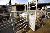 A vet carries out a TB test on beef cattle. - Paul Box - 2000s,2009,agricultural,agriculture,animal,animals,bull,bullock,bullocks,bulls,cattle,coral,cow,cows,cowshed,cowsheds,dairies,Dairy herd,domesticated ungulate,domesticated ungulates,employee,employees