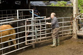 A vet carries out a Bovine TB test on beef cattle. - Paul Box - 27-07-2009