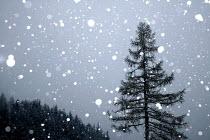 Snow falling on a fir tree on the Alps, France. - Paul Box - 18-01-2005