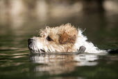 A Jack Russell terrier swimming in Pembrokeshire. - Paul Box - 22-08-2009
