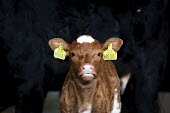 A calf with ear tags on a farm. Wales. - Paul Box - 2010,2010s,agricultural,agriculture,animal,animals,capitalism,capitalist,cattle,cow,cows,cowshed,cowsheds,dairies,Dairy herd,domesticated ungulate,domesticated ungulates,EBF,Economic,Economy,farm,farm
