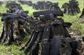 Cut sods of turf peat drying out in piles, it is used as a domestic fuel. Kerry, Ireland - Paul Box - 21-08-2010