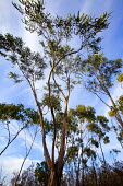 Eucalyptus tree, Aljezur, Portugal. - Paul Box - 2010,2010s,country,countryside,eni,environment,Environmental Issues,Eucalyptus,Leisure,LFL,LIFE,National Park,nature,outdoors,outside,PEOPLE,RECREATION,RECREATIONAL,rural,tree,trees,wood,woods