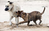 Dogs fighting on a beach near Sagres, Portugal. - Paul Box - 2010,2010s,animal,animals,beach,beaches,bite,bites,biting,COAST,coastal,coasts,dog,dogs,eni,environment,Environmental Issues,fight,fighting,fights,jaw,jaws,Leisure,LFL,LIFE,nature,OCEAN,OWNERSHIP,PEOP