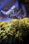 A hydroponic cannabis farm in a home garage, Bristol. - Paul Box - 01-09-2010