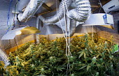 A hydroponic cannabis farm in a home garage, Bristol. - Paul Box - 2010,2010s,agricultural,agriculture,aquiculture,bud,buds,cannabis,cities,city,CLJ,crime,drug,drugs,farm,farmed,farming,farms,fluorescent,ganja,garage,grew,grow,grower,growing,grown,hash,hashish,home,H